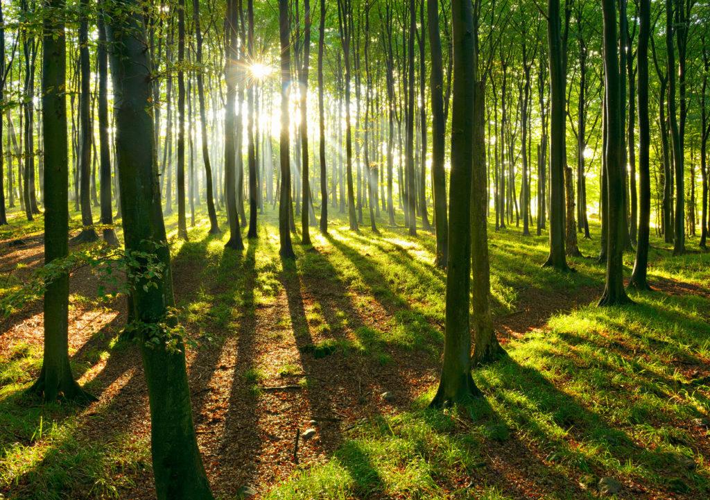 Une forêt de hêtres au sol couvert d'herbe. Le soleil passant dans le brouillard teint la photo de tons verts.